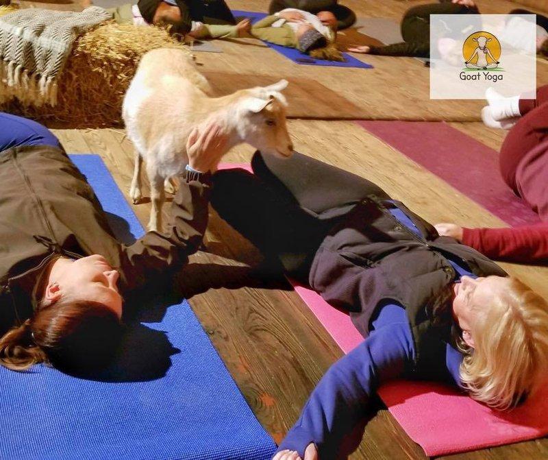 Original Goat Yoga cover photo