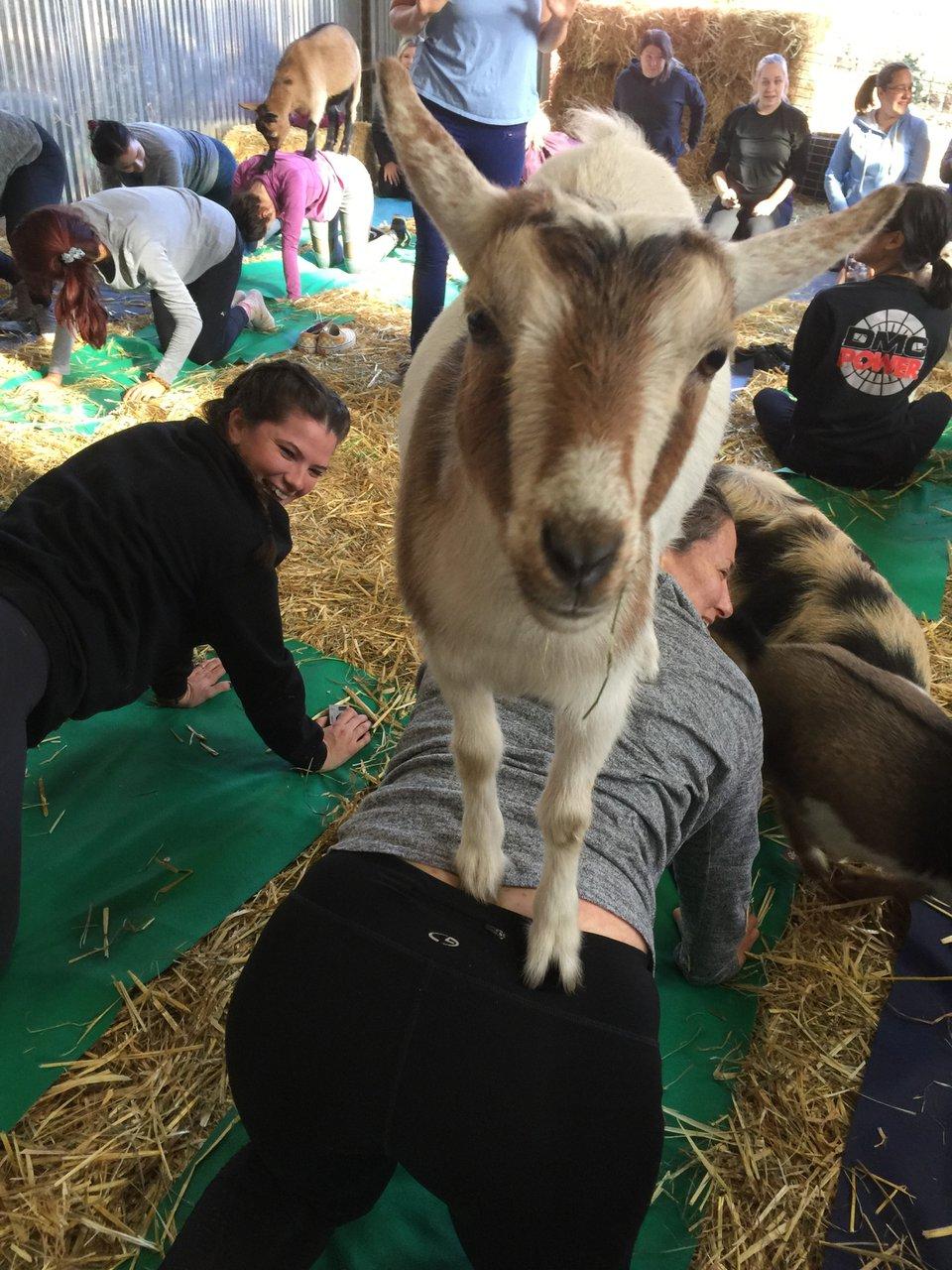 Original Goat Yoga Team Building photo IMG_1187.jpg