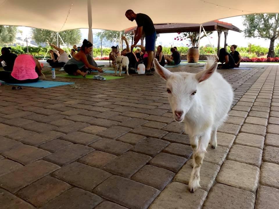 Original Goat Yoga & Wine Tasting photo 39410236_2159134504159084_395438012604874752_n.jpg