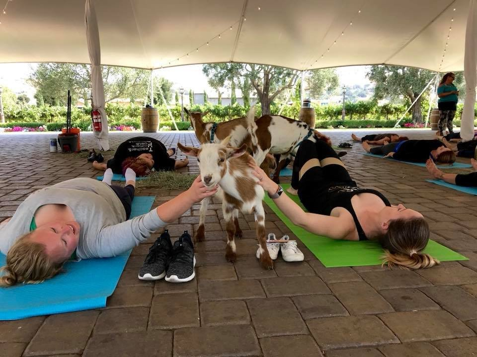 Original Goat Yoga & Wine Tasting photo 39453143_2159134380825763_6291623280386244608_n.jpg