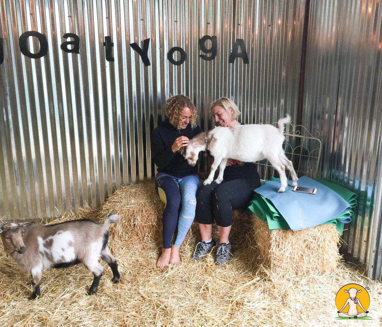 Original Goat Yoga Team Building photo 39054795_357047811500875_2565844974805450752_o.jpg